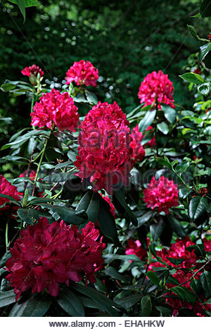 rhododendron nova zembla stock photo royalty free image 62759425 alamy. Black Bedroom Furniture Sets. Home Design Ideas