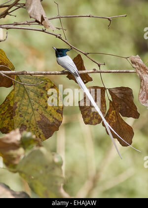 Asian paradise flycatcher (Terpsiphone paradisi) - Stock Photo