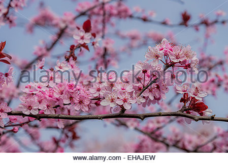 Pink Japanese cherry blossoms - Stock Photo
