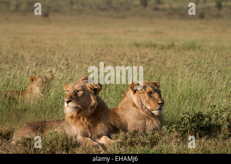 Two sub adult male Lions resting in the Serengeti (Panthera leo) - Stock Photo