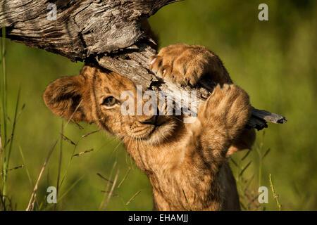 Lion Cub (Panthera leo) playing peekaboo. - Stock Photo