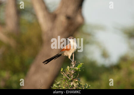 White-browed coucal (Centropus superciliosus) - Stock Photo