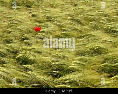 Mohn und Korn / red poppy - Stock Photo