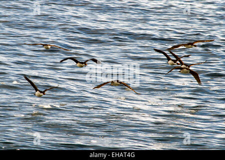 Imperial shag (Phalacrocorax atriceps) in flight. This seabird is a type of cormorant, and is found in the regions - Stock Photo