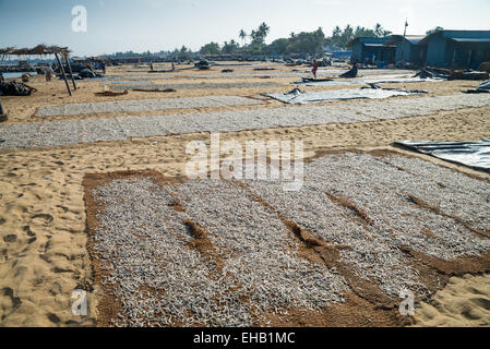 Fish catch to drying in the sun Negombo market, Sri Lanka, Asia - Stock Photo