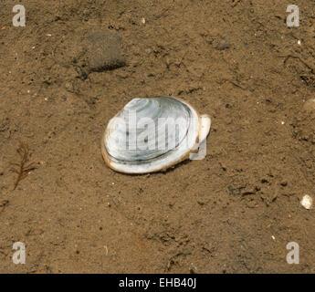 Peppery Furrow Shell - Scrobicularia plana - Stock Photo