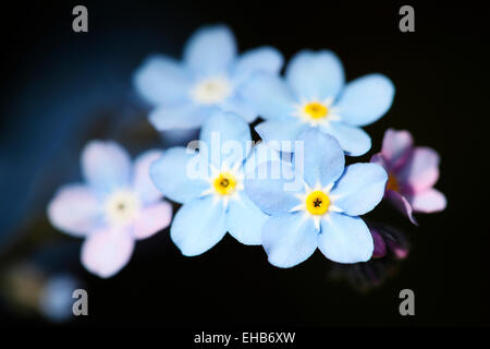 Gorgeous blue Forget Me Nots, a tiny Fflower filled with sentiment Jane Ann Butler Photography JABP778 - Stock Photo
