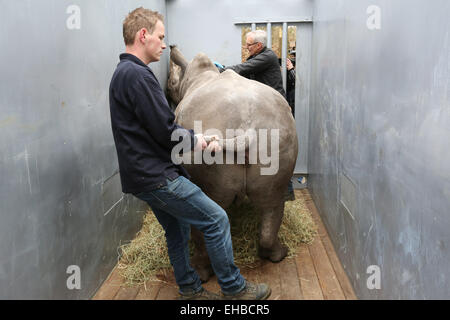 ARNHEM - In Burgers' Zoo in the Dutch city Arnhem the 2.5 year old white rhinoceros Vince was Monday 9-3-2015 loaded - Stock Photo