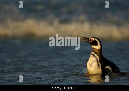 Mit ca. 73 cm Körpergröße gehört der Magellanpinguin (Spheniscus magellanicus) zu den  mittelgroßen Pinguinarten. - Stock Photo