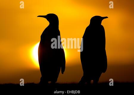 Königspinguine (Aptenodytes patagonicus) sind meist monogam und paaren sich mit dem Partner aus der vorhergehenden - Stock Photo