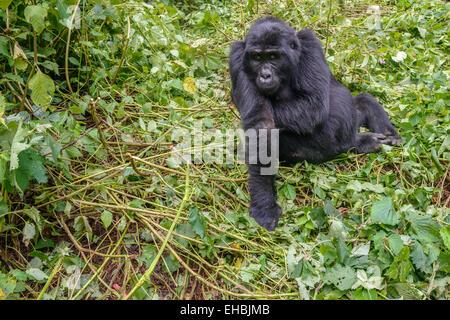 Adult a female mountain gorilla (G. beringei beringei) in a small clearing amongst vegetation in Bwindi Forest, - Stock Photo