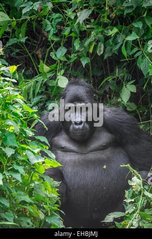 A blackback male mountain gorilla (G. beringei beringei) in dense vegetation, Bwindi Impenetrable Forest. - Stock Photo