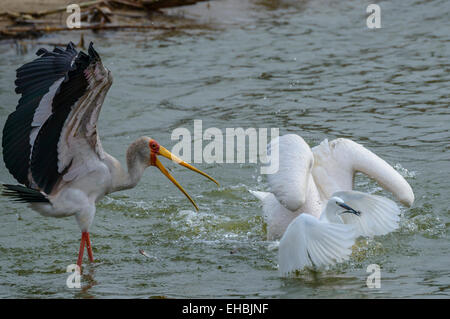 A yellow-billed stork, great egret and great white pelican feed on a shoal of small fish fry at the surface of Lake - Stock Photo
