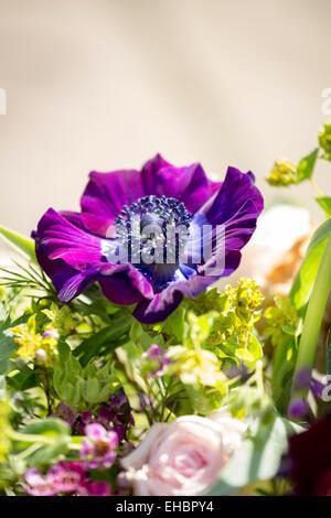 Purple Anemone coronaria or Poppy Anemone Flower - Stock Photo