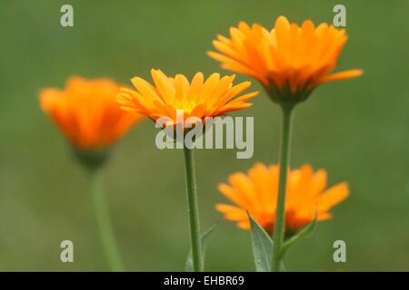 Marigold - Stock Photo