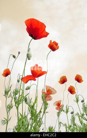 Red Poppy flower field with vintage colors - Stock Photo