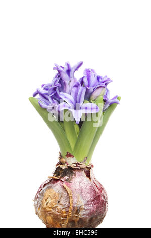 Hyacinth bulb shoots and flowers isolated against white - Stock Photo