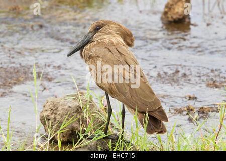 Hammerkop (Scopus umbretta) adult standing near water, Rift Valley, Kenya, Africa - Stock Photo