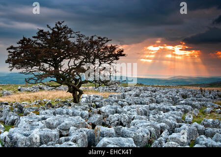 Lone Hawthorne Tree on Limestone Pavement at Sunset, Twistleton Scars, Yorkshire Dales National Park, Yorkshire, - Stock Photo