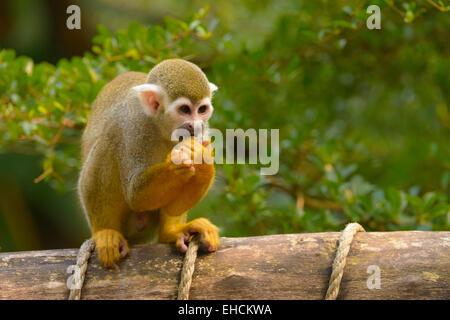Squirrel Monkey (Saimiri sp.) feeding, sitting on railings, Leipzig Zoo, Leipzig, Saxony, Germany - Stock Photo