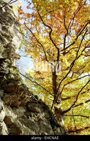 Common Beech in autumn colours - Stock Photo
