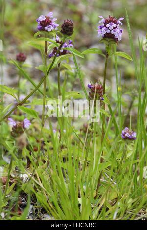 Small Accentor, Prunella vulgaris - Stock Photo