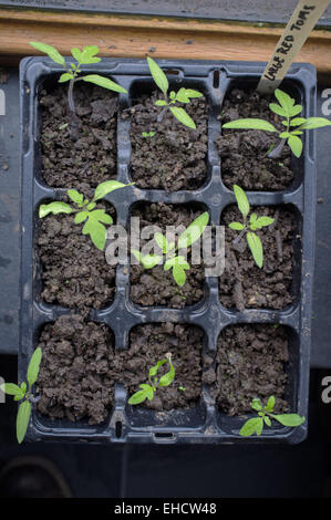Young tomato plants and seedlings growing on a window sill - Stock Photo