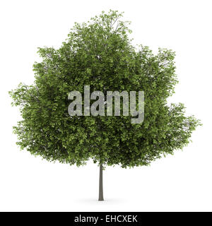 small-leaved lime tree isolated on white background - Stock Photo