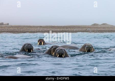 Group of walruses (Odobenus rosmarus) swimming in the Arctic sea, Svalbard, Norway - Stock Photo
