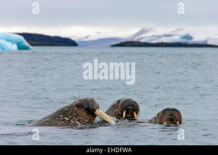 Three walruses (Odobenus rosmarus) swimming in the Arctic sea, Svalbard, Norway - Stock Photo