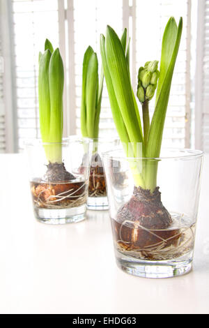 Spring Hyacinth Bulbs In Glass Containers On Table Stock Photo