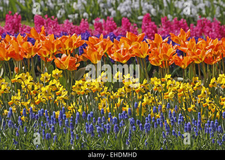 Tulips and daffodils in spring, Netherlands - Stock Photo