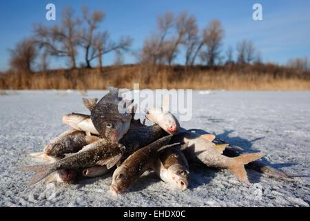 Winter fishing - caught fish on ice - Stock Photo