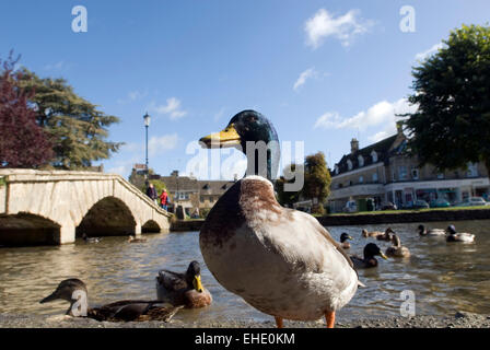 Male duck in front of a bridge in Bourton on the water River Windrush Cotswolds Gloucestershire England UK GB Europe - Stock Photo