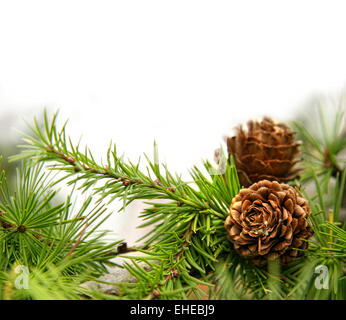 Pine cones on branches on white - Stock Photo