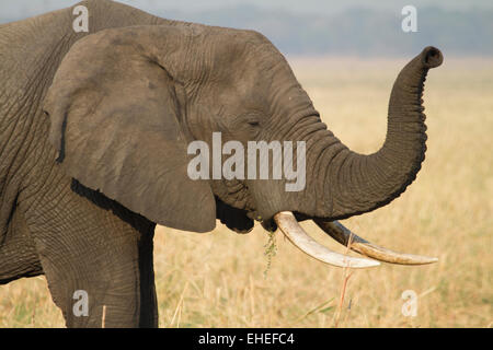 Male African Elephant raising his trunk to smell the air. - Stock Photo