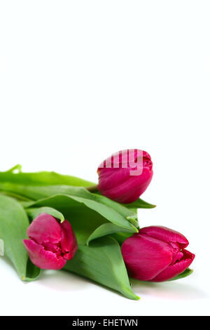 Three pink tulips on white background. - Stock Photo