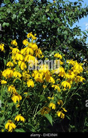 Gelber Sonnenhut / Yellow coneflower - Stock Photo
