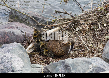 Mallard duck and ducklings. - Stock Photo