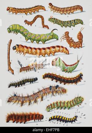 Vintage scientific illustration of butterfly caterpillars. - Stock Photo