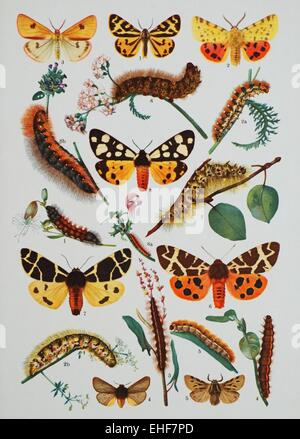 Vintage scientific illustration of butterflies and their caterpillars. - Stock Photo