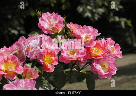 Rose Herzogin Friederike, Shrub rose - Stock Photo