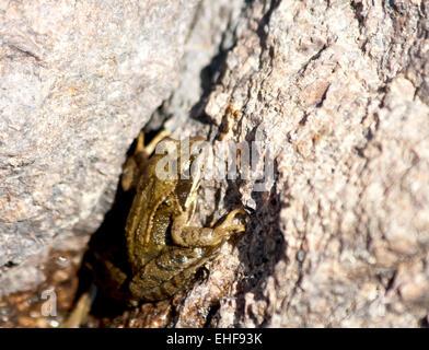 European common brown frog on stone - Stock Photo