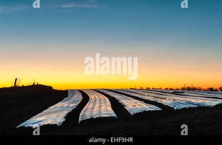 Suffolk Uk Sunset Over A Field Covered In Plastic Mulch