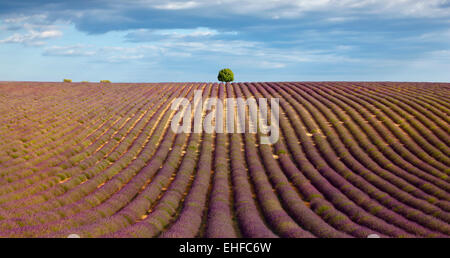 Lavender field and a tree on the top of the hill. - Stock Photo