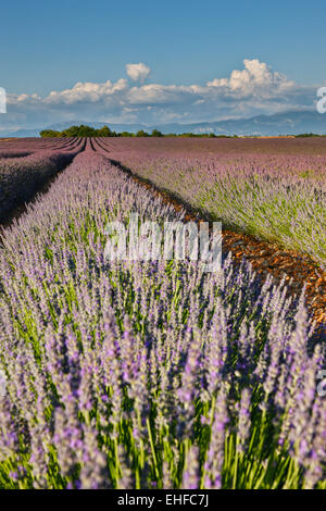 Lavender field in France, Provence - Stock Photo