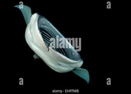 Feeding Reefmanta during Nightdive with open mouth and view to the Gills doing Barrel Roll, Fesdhoo Faro, Indian - Stock Photo