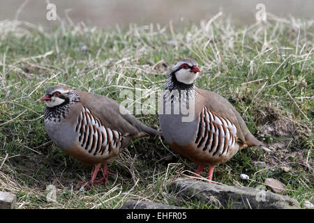 Red-legged Partridge, Alectoris rufa, pair - Stock Photo