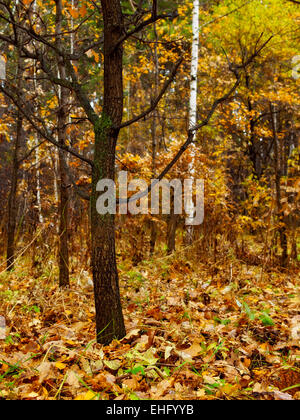 Lone oak tree without leaves in the forest - Stock Photo