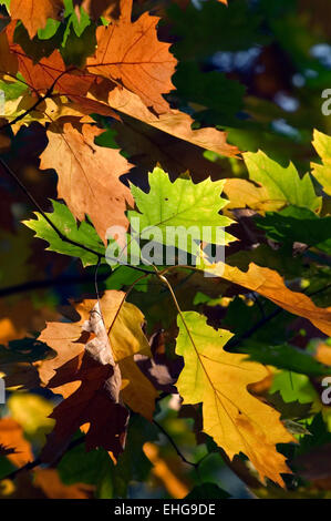 Northern red oak / champion oak (Quercus rubra / Quercus borealis) close up of branch with colourful leaves in autumn - Stock Photo